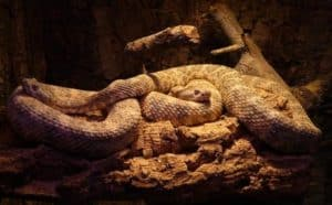 two spotted rattlesnakes