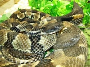 Multiple coiled rattlesnakes