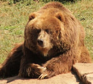 Big brown grizzly bear