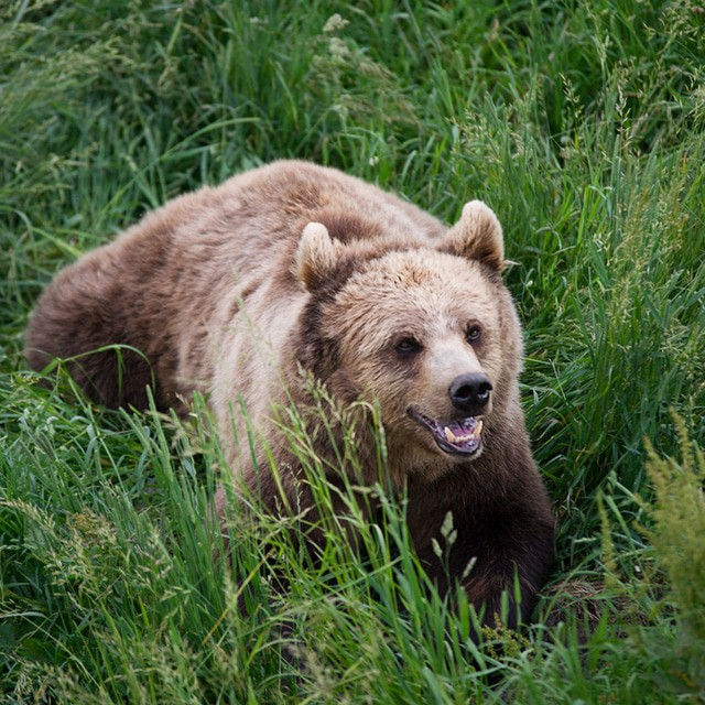 grizzly bear in tall grass