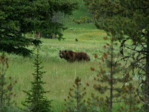 brown bear in tall grass