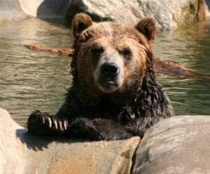 Wet grizzly swimming