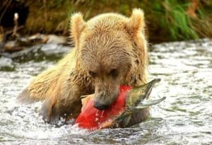 brown bear cub catching salmon