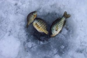 three panfish over ice hole