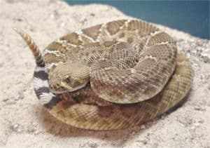 coiled red rattler on gray rock