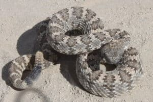coiled gray rattler on sand
