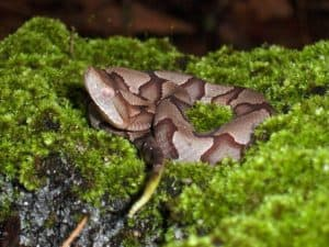 young copperhead snake coiled in moss