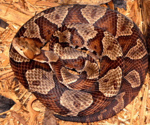 Coiled adult copperhead snake