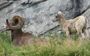 two big horn sheep by rock