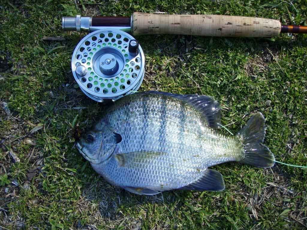 bluegill by fly reel on ground