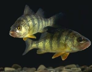 two yellow perch in dark water