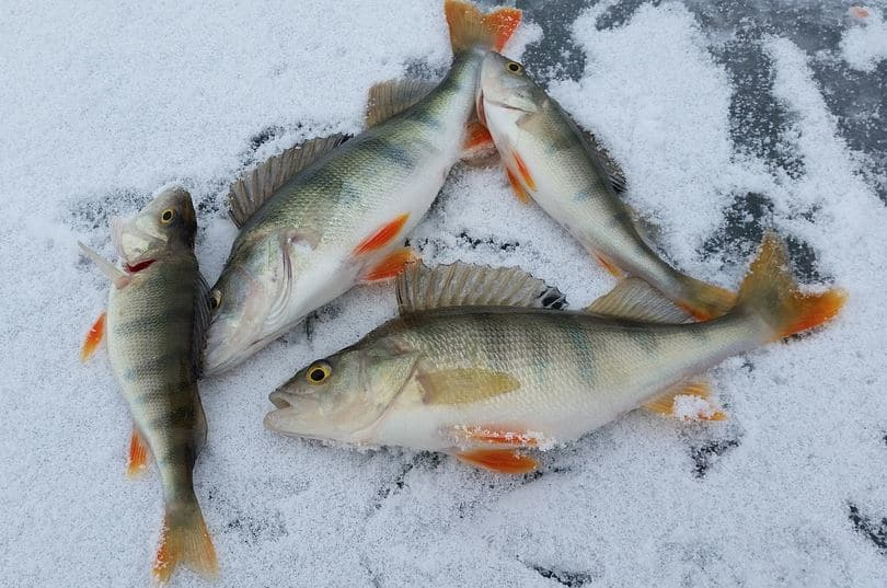 Yellow perch on ice