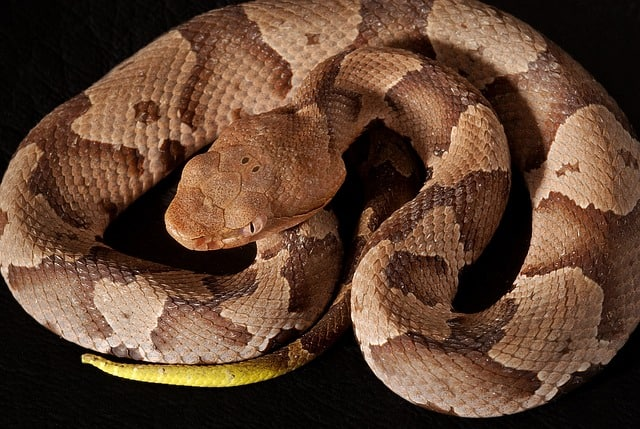 Small coiled baby copperhead with yellow tail